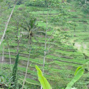Rice Fields Ubud Bali ©ItsM.Sherif