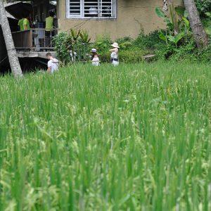 Rice Fields Ubud Bali travel ©ItsM.Sherif
